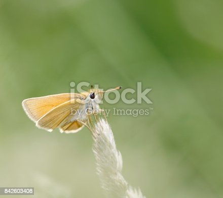 The Essex skipper (Thymelicus lineola) is a butterfly in family Hesperiidae. In North America, it is known as the European skipper.