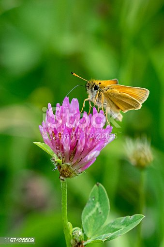 Essex skipper butterfly (Thymelicus lineola) with ends of antenna being black in colour, feeding of wild clover flower