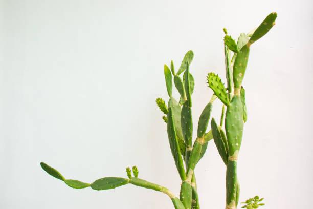 Estern Prickly Pear Cactus stock photo