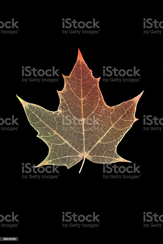 Etched Autumn Leaf on Black royalty-free stock photo