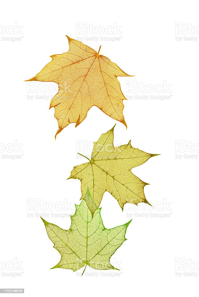 Etched Autumn Leaves On White royalty-free stock photo