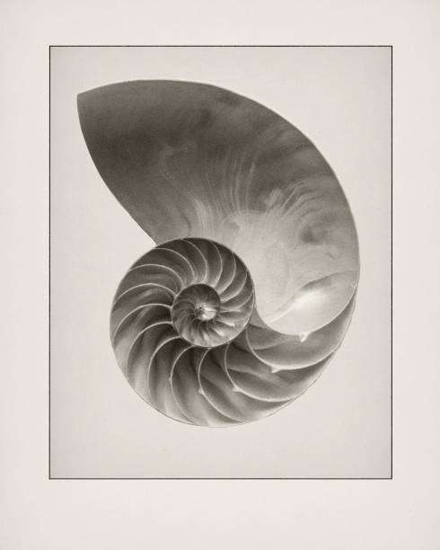 etching of nautilius shell. - nautilus stock pictures, royalty-free photos & images