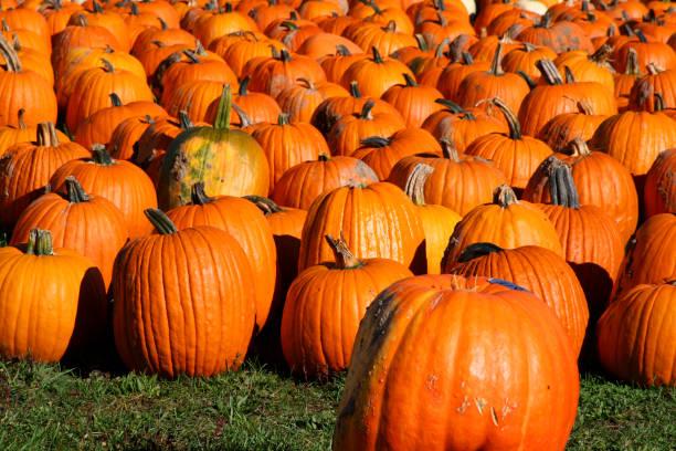 Eternal Pumpkins at the Pumpkin Patch stock photo