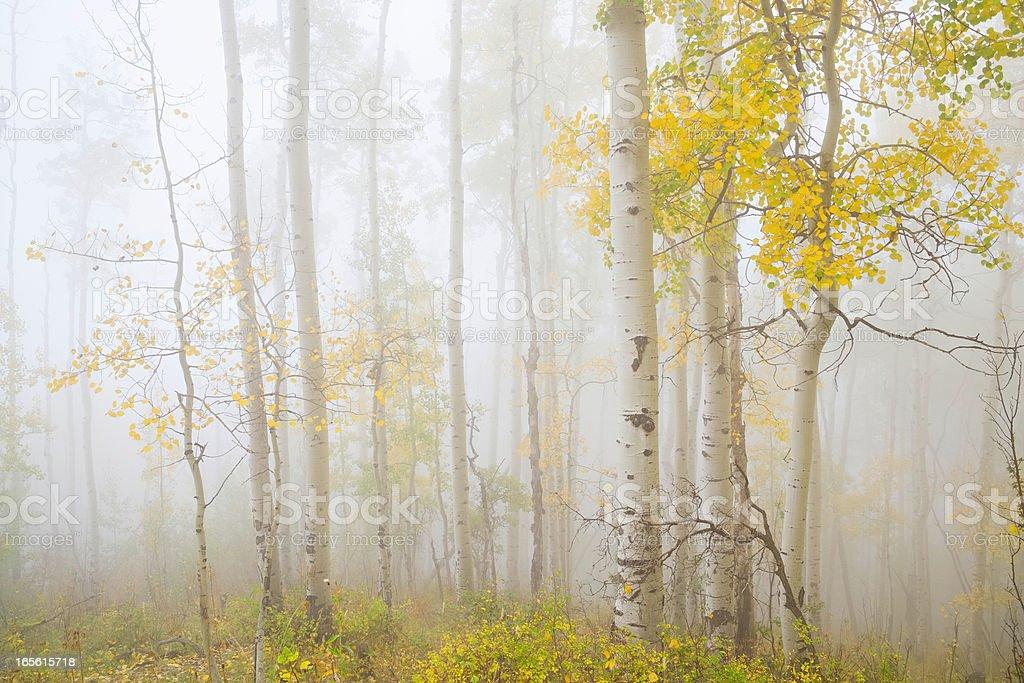 ethereal autumn aspens in fog stock photo