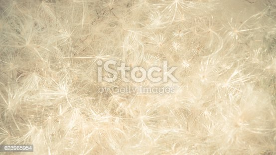 istock Ethereal backdrop of natural white fluffy thistle seeds 623965954
