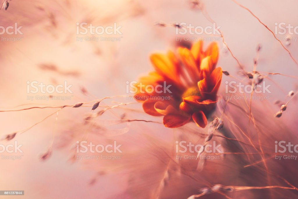 Ethereal looking ornamental grass with orange dahlia stock photo