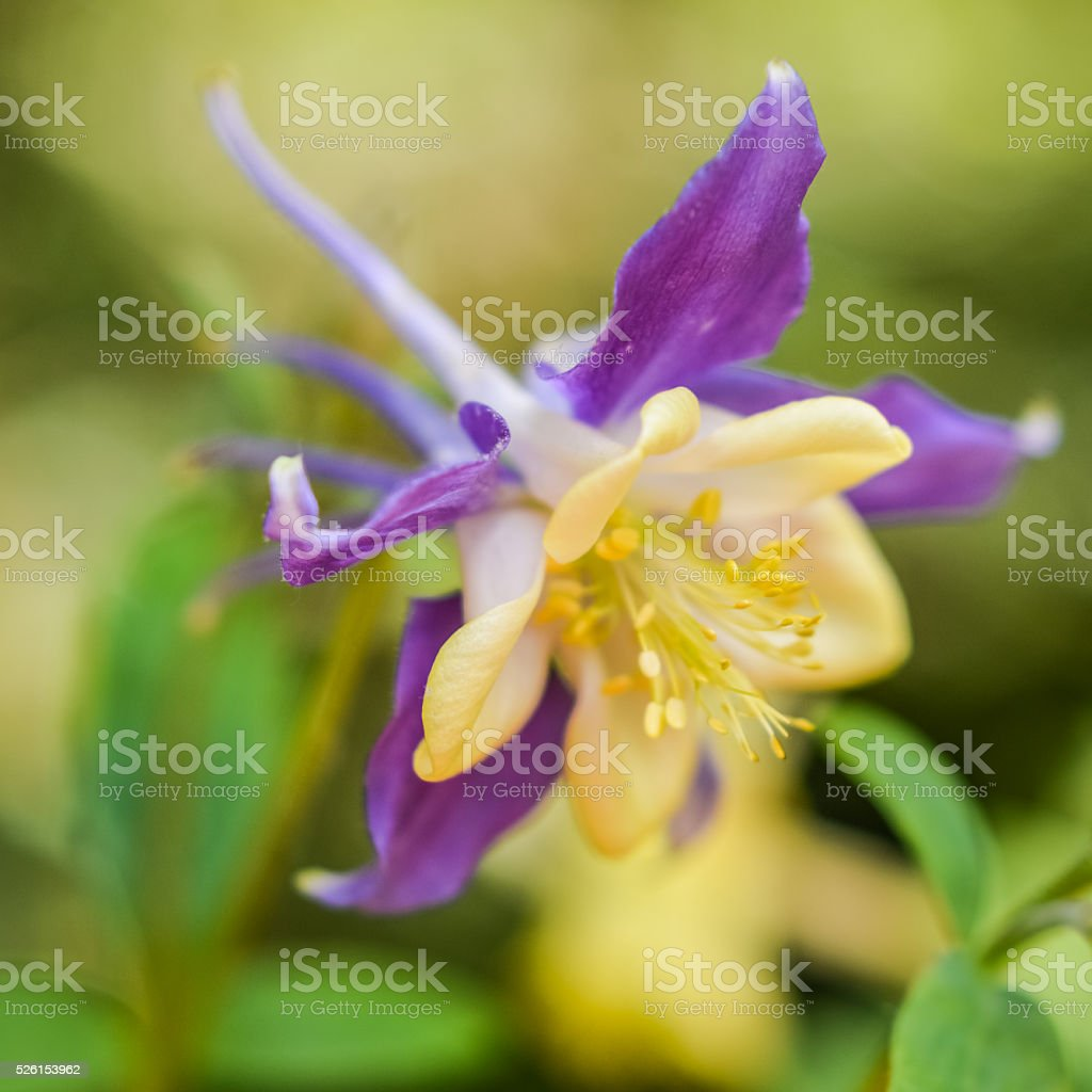 Ethereal Purple And Yellow Columbine Flower Stock Photo More