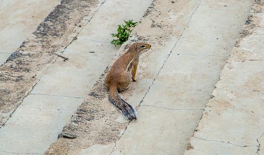 Ethiopia: African Ground Squirrel