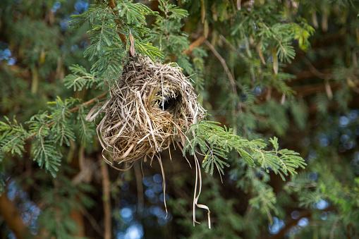 Ethiopia: Weaver Nest