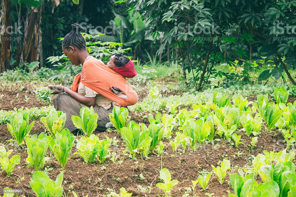 Ethiopian farmer picking lettuce in a orchard in Ethiopia stock photo