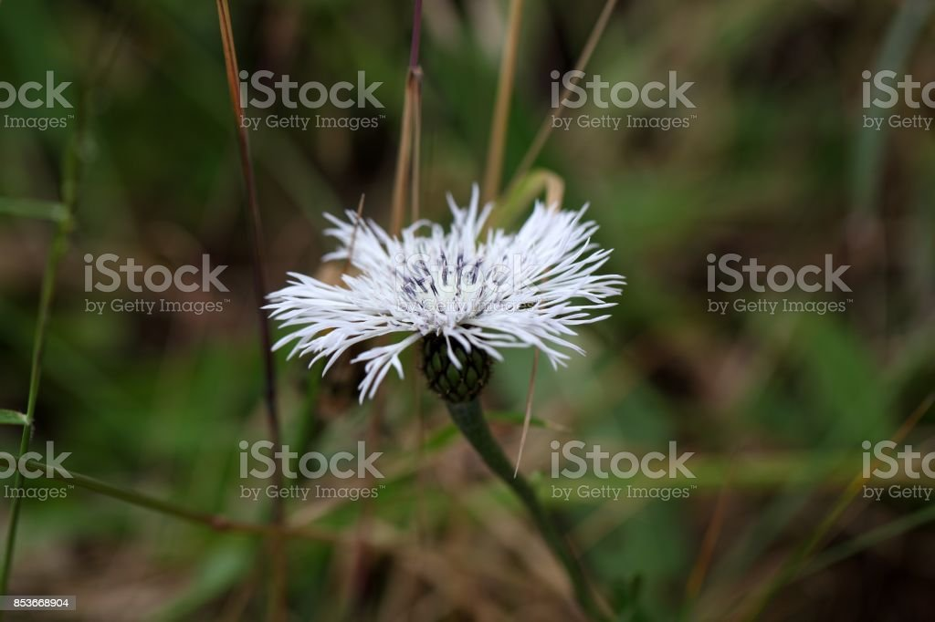 Ethiopian Knapweed Plectocephalus varians stock photo