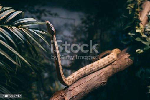 Common name: Ethiopian mountain adder, small-eyed puff adder, Ethiopian viper, Ethiopian mountain viper.