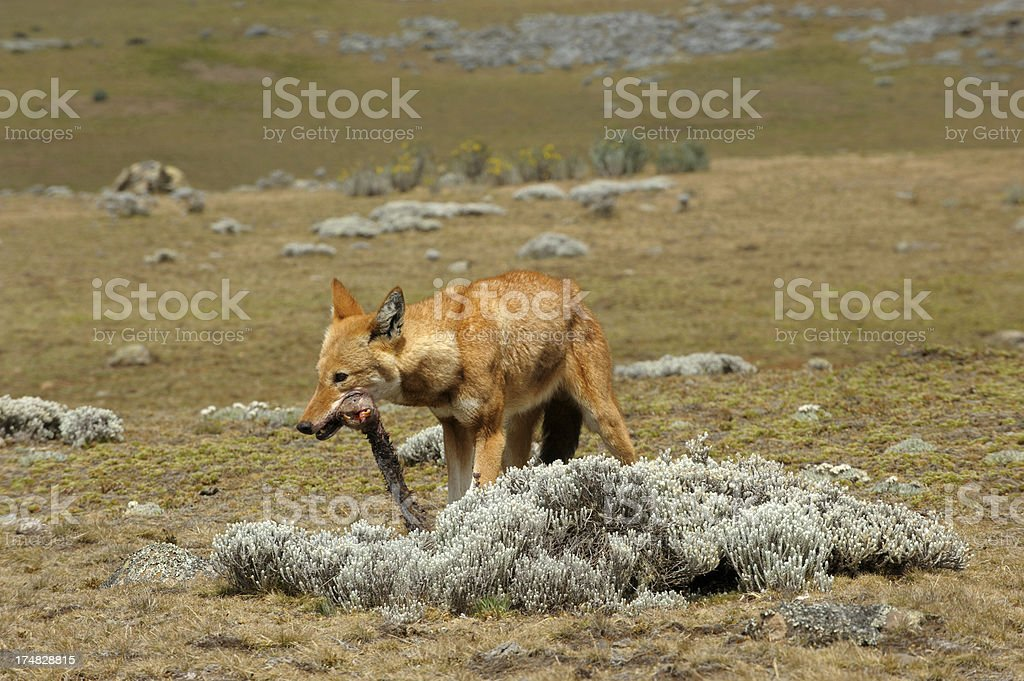 Ethiopian wolf after a kill stock photo
