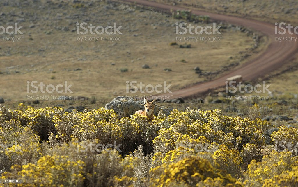 Ethiopian wolf in Bale Mountains stock photo
