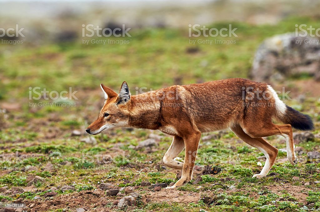 Ethiopian Wolf stock photo