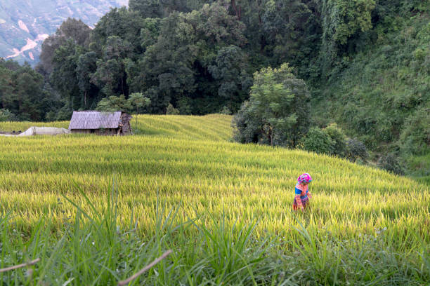 Ethnic minority woman is visiting her rice field. Preparing for harvest in Hoang Su Phi, Ha Giang province, Vietnam. stock photo