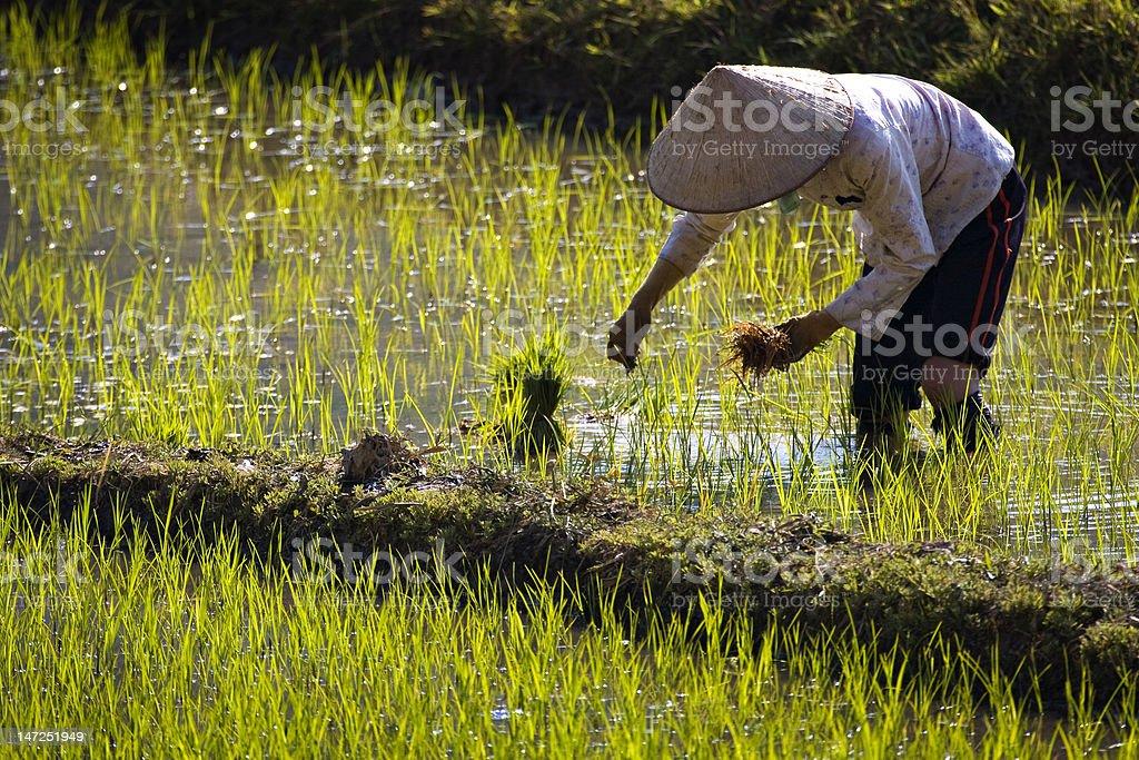Ethnic minority woman working the rice paddy stock photo