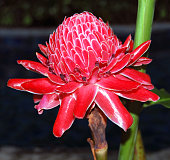 Etlingera elatior also known as torch ginger, ginger flower, red ginger lily, torch lily, wild ginger, combrang, bunga kantan,  wax flower close - up view