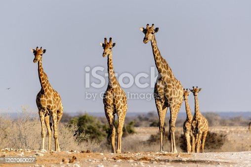 istock Etosha giraffes 1202060027
