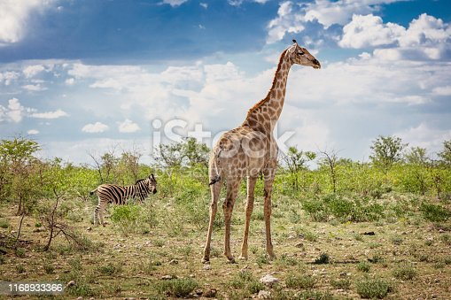 Cute Giraffe together side by side with a young Zebra in the Etosha National Park under beautiful summer cloudscape looking towards the camera. Etosha National Park, Namibia, Africa