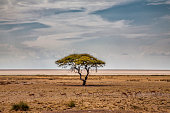 Sprongbok and a tree at Etosha Pan with a beautiful sky at the beginning of the rainy season in Etosha National Park in Namibia