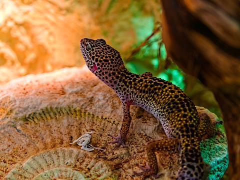 a female leopard gecko in a terrarium, seen from behind