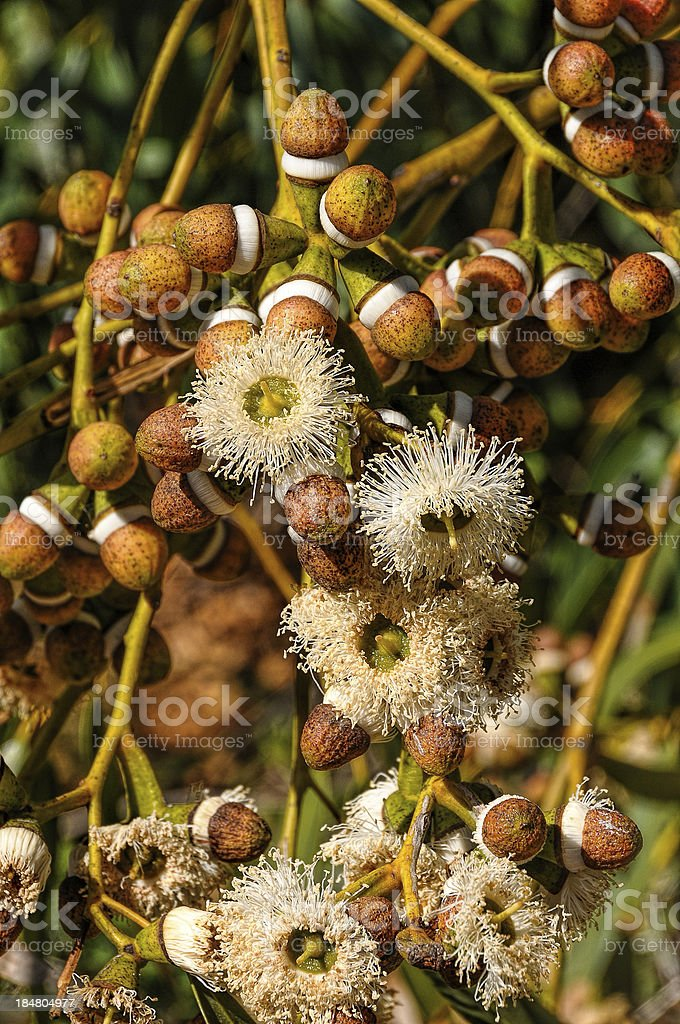 Eucaliptus flowers and buds stock photo
