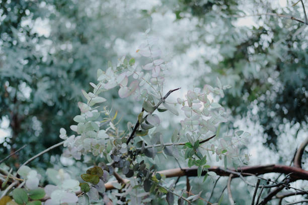 Eucaliptus globulus tree foliage outdoors. Round and long leaves on branches. stock photo