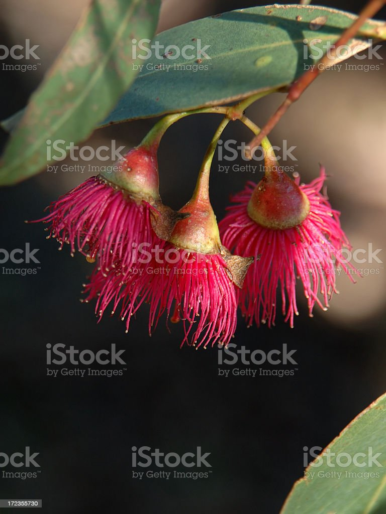 Eucalypt blossom on tree royalty-free stock photo