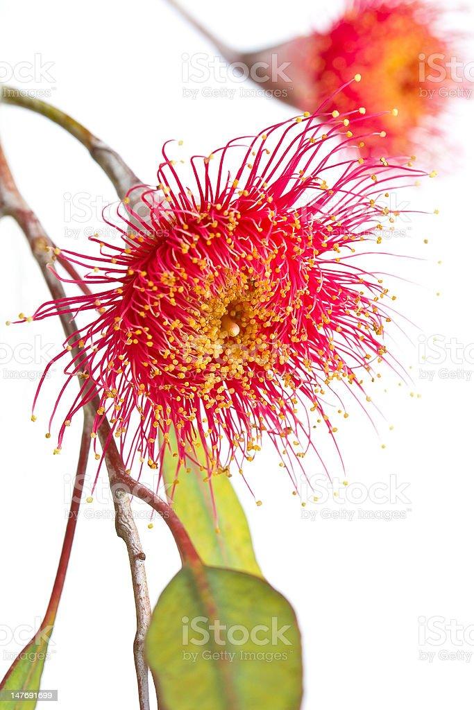 Eucalypt tree blossom stock photo