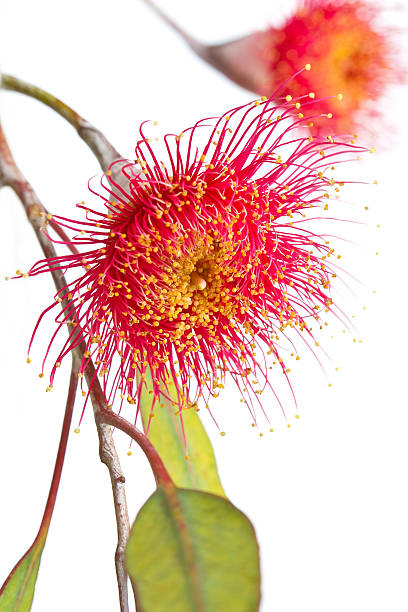 Eucalypt tree blossom stock photo