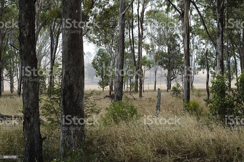 Eucalypts in Grassland royalty-free stock photo