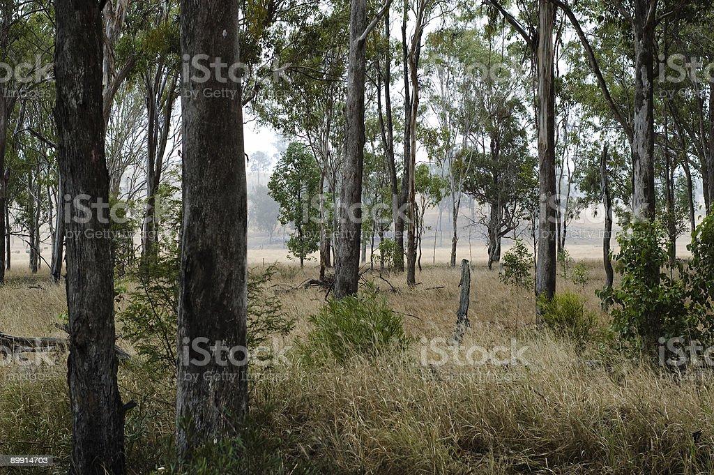 Eucalypts в государственное Стоковые фото Стоковая фотография