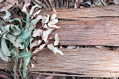 Eucalyptus bark and leaves