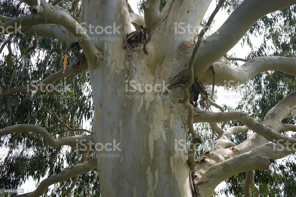 Eucalyptus bark stock photo