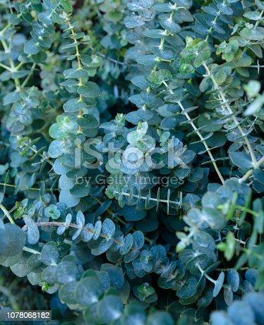 istock Eucalyptus Bouquets 1078068182