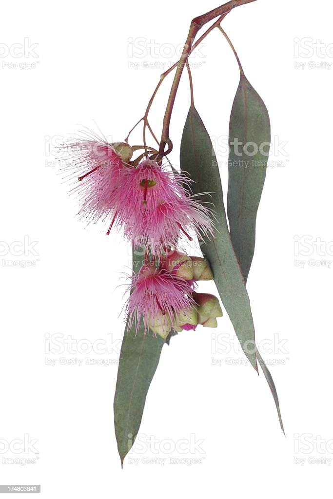 Eucalyptus branch and flowers royalty-free stock photo