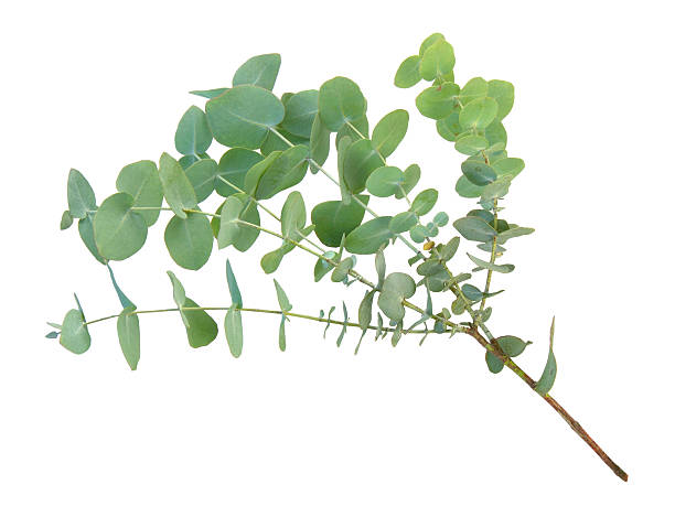 eucalyptus branch - eucalyptus tree stock photos and pictures