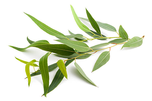 eukalyptus-branch - eukalyptusbaum stock-fotos und bilder