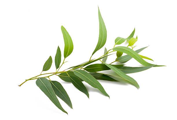 eucalyptus branch - eucalyptus bildbanksfoton och bilder
