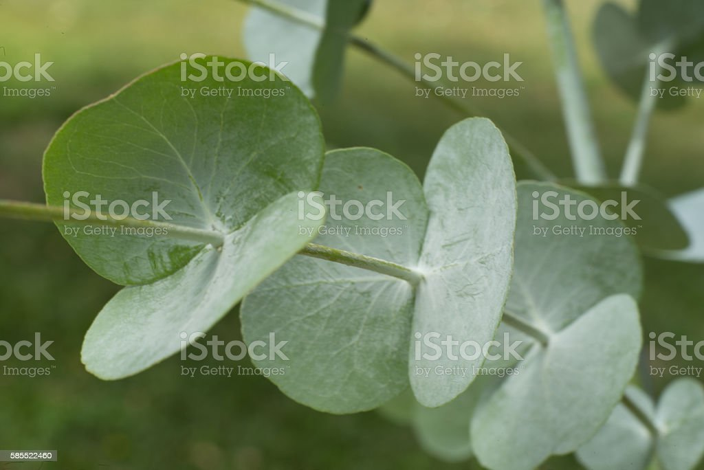 Eucalyptus branch stock photo