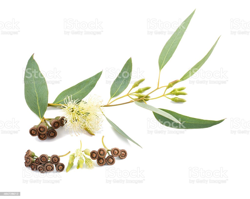 Eucalyptus branch with gumnuts on a white background stock photo