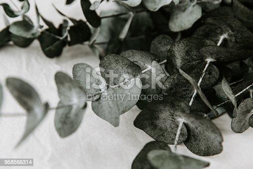 655667160 istock photo Eucalyptus branches close Up 958566314