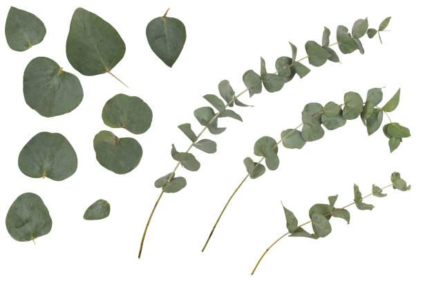 eucalyptus cinerea, silver dollar; argyle apple, rustika gröna grenar, kvistar och blad - eucalyptus bildbanksfoton och bilder