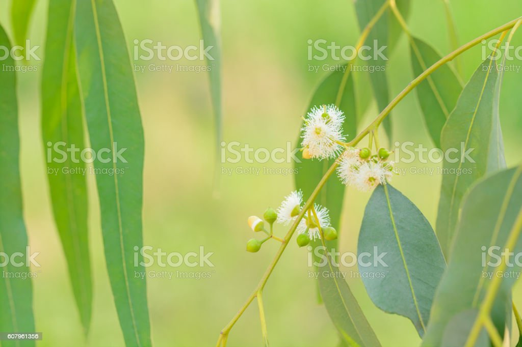 Eucalyptus flower with leaves stock photo