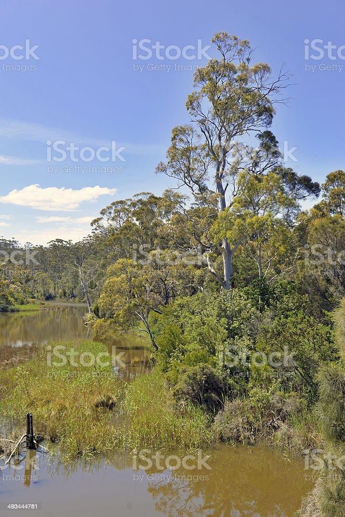 Eucalyptus Forest in the Wilderness, Tasmania, Australia stock photo