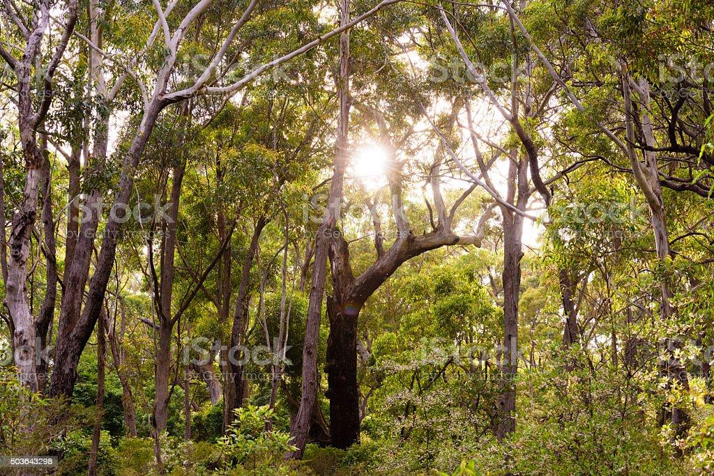 Eucalyptus Forest,  New South Wales, Australia stock photo