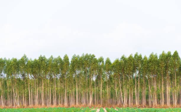 Eukalyptuswald – Foto