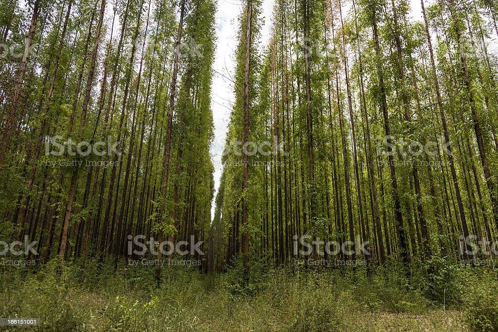 Eucalyptus forest royalty-free stock photo