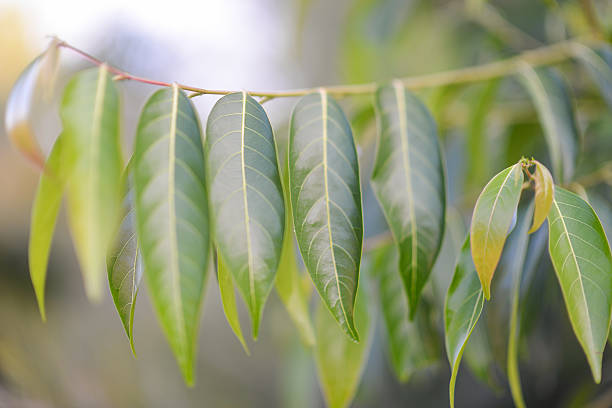 Eucalyptus / gum tree leaves stock photo